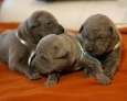 puppies of thai ridgeback dog
