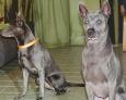 новые щенки тайского риджбека